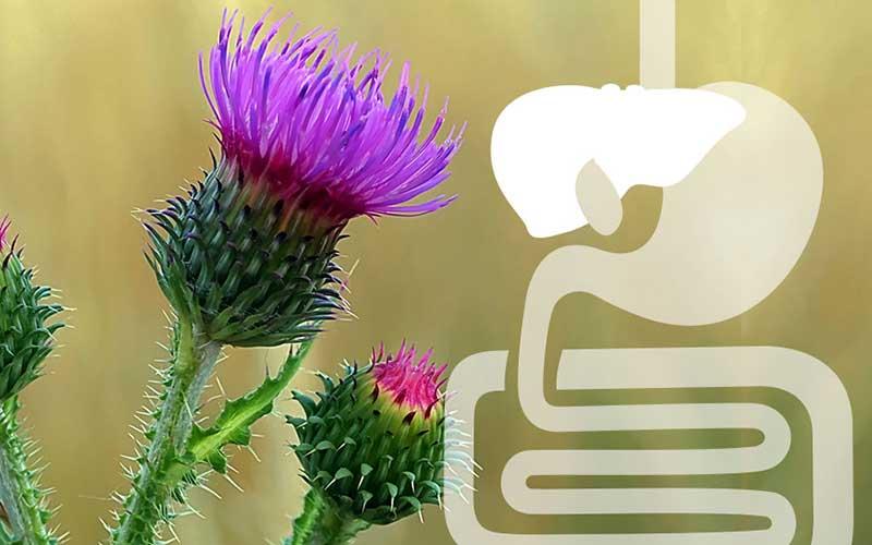 Ardeyhepan Pflanzliche Staerkung für die Leber