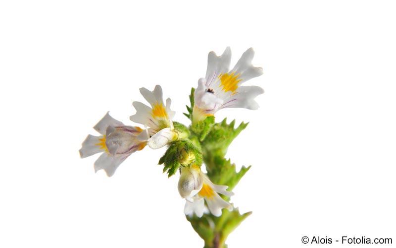 Augentrost (Euphrasia rostkovina)