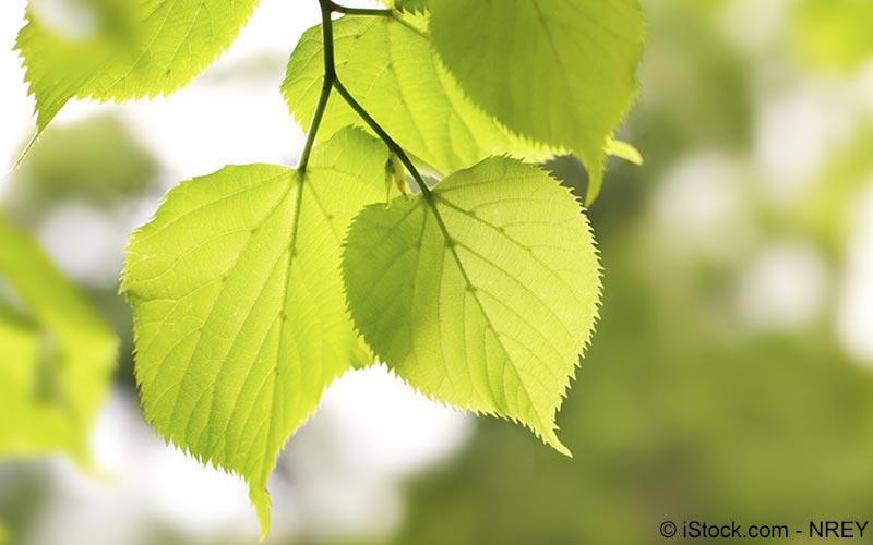 Birken-Blatt (Betula pendula)