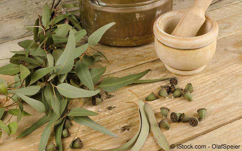 Eukalyptus (Eucalyptus globulus)