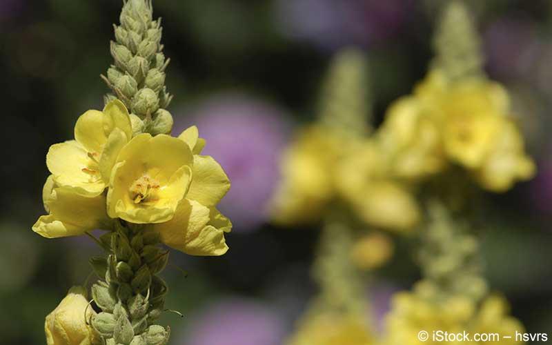 Königskerze Blüte (Verbascum densiflorum)