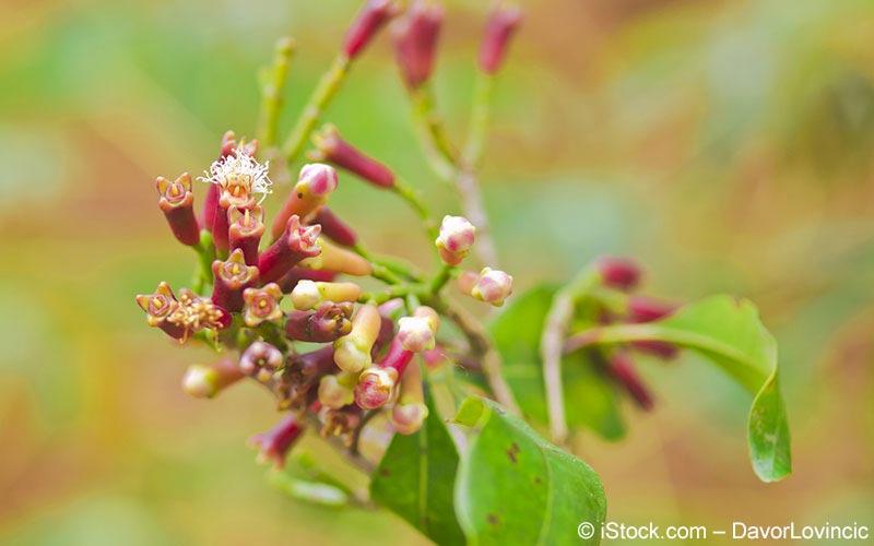 Nelke, Gewürznelke (Syzygium aromaticum)