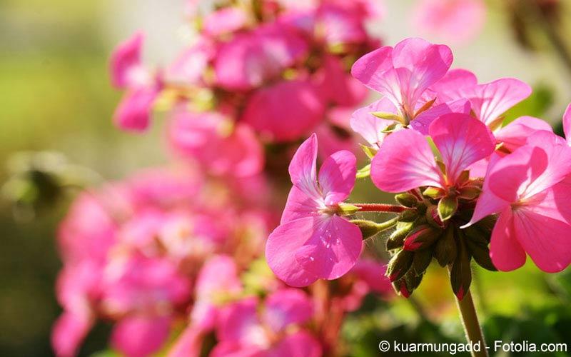 Pelargonium (Umckaloabo sidoides)