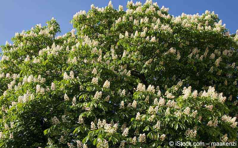 Rosskastanie (Aesculus hippocastanum)