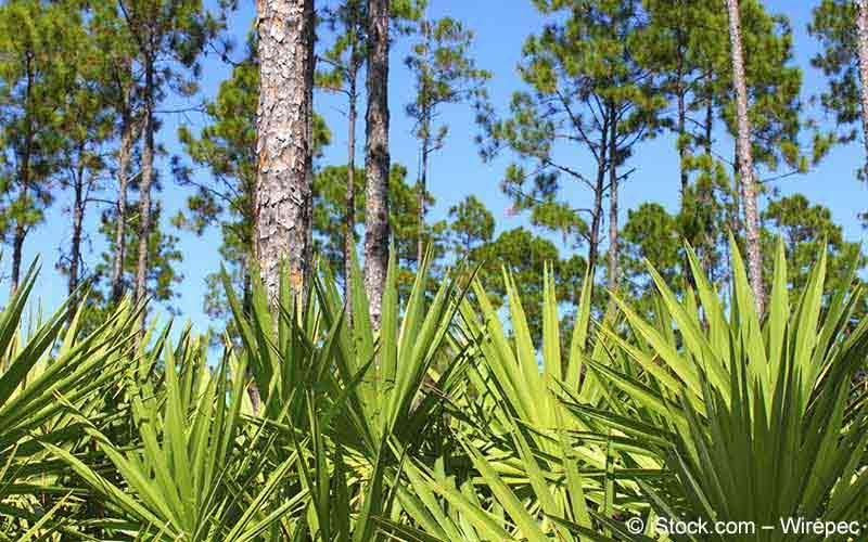 Sägepalme (Serenoa repens, Sabal serrulata)