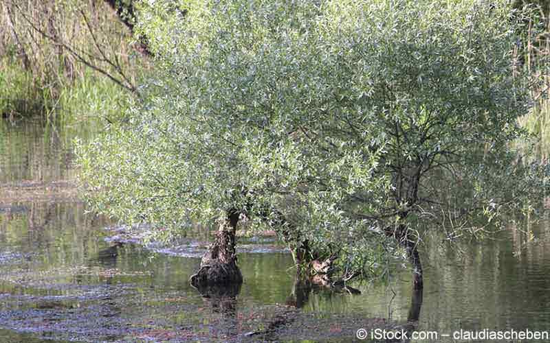 Weide, Weidenrinde (Salix species)