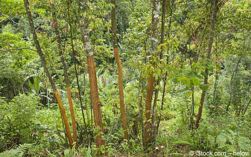 Zimt (Cinnamomum verum)